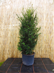 Taxus baccata1