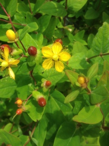 Hypericum inodorum Orange Flair